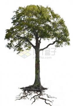 带树根的大树png免抠图片素材