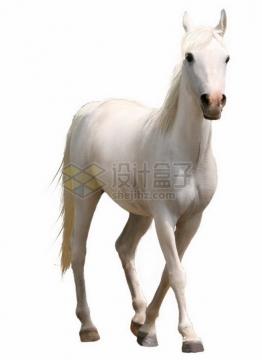 白色的阿哈尔捷金马png免抠图片素材