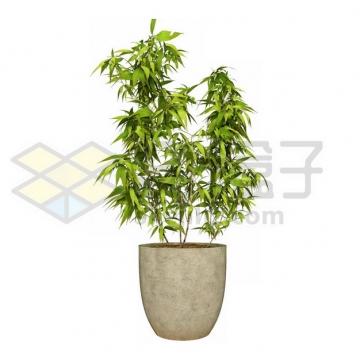 花盆里的观赏竹子盆栽197875psd/png图片素材