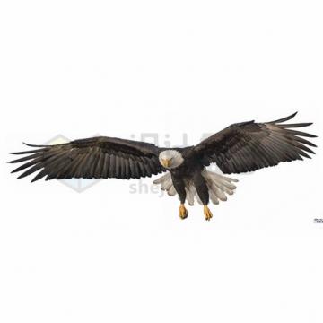 飞行中的白头海雕雄鹰展翅png图片素材