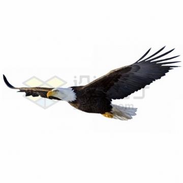 平稳飞行中的白头鹰雄鹰展翅png图片素材