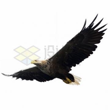 张开翅膀飞行的白头鹰雄鹰展翅png图片素材