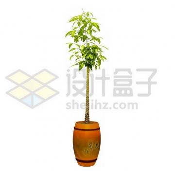 花盆里的辫子发财树盆栽437589psd/png图片素材