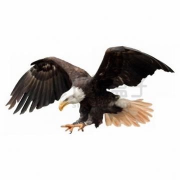 俯冲抓取猎物的白头鹰雄鹰展翅png图片素材