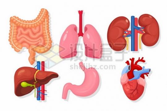 肠道肺部肾脏肝脏胃部和心脏等人体组织结构130879矢量图片免抠素材