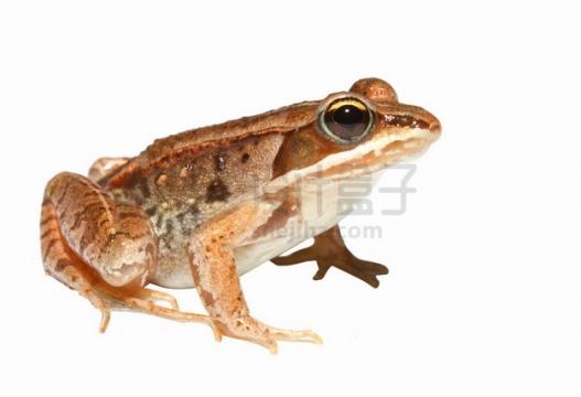 一只可爱的大眼睛青蛙树蛙png图片素材