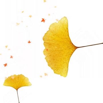 秋天的两片发黄的银杏叶免抠PNG图片素材