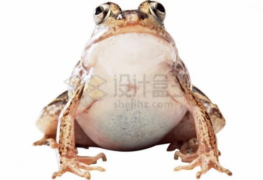 可爱的大肚子青蛙牛蛙png图片素材