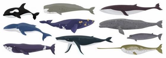 虎鲸抹香鲸蓝鲸独角鲸灰鲸等海洋鲸鱼哺乳动物png图片免抠矢量素材
