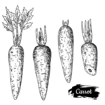手绘胡萝卜素描插图图片免抠矢量素材
