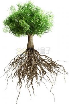 发达的树根和大树png免抠图片素材
