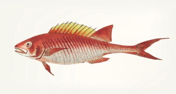 海洋生物海鱼红杉鱼图片免抠素材