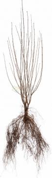连根拔起的树苗png免抠图片素材