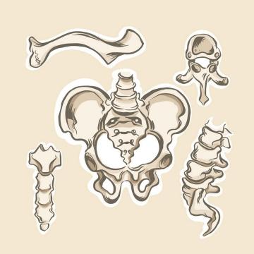 手绘风格盆骨尾椎骨人体骨骼结构图图片免抠素材